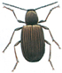 Australian pider beetle