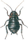 Female oriental cockroach