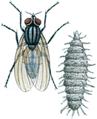Lesser house fly and larva