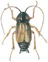Male oriental  cockroach
