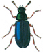 Red-legged ham beetle