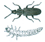 Saw-toothed grain beetle and larva