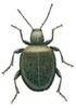 Spider beetle, Sphaericus gibbioides