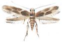 Wine moth