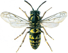 German wasp