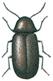 Drugstore beetle