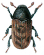 Ash bark beetle