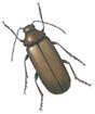 Bark borer beetle - Ernobius mollis