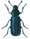 Copra beetle