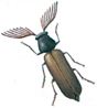Fan-bearing wood borer beetle