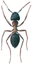 Hercules ant