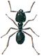 Jet-black ant