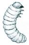 Spider beetle larva