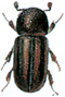 Striped ambrosia beetle