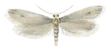 Case bearing clothes moth