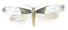 Tapestry moth