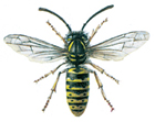 Common hornet - wasp