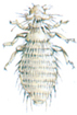 Feather louse