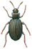 Mould beetle - female