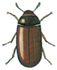 Mould beetle - male