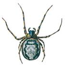 Spider - Zygiella X-notata