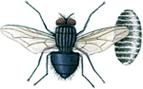 Blowfly and pupa