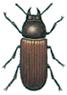Broad-horned flour beetle, Gnathocerus cornutus