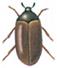 Brown carpet beetle