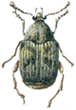 Common bean weevil
