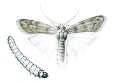 Flour moth and larva