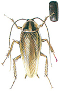 German cockroach with egg capsule