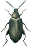 Groundnut beetle