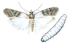 Indian meal moth and larva