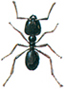 Jet black ant