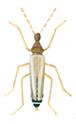 Male odd beetle