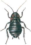 Oriental cockroach, female