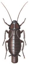 Orientalsk kakerlak, female