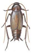 Orientalsk kakerlak, male