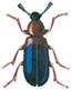 Red-breasted kopra beetle