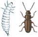 Rust-red grain beetle and larva