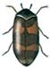 Trogoderma dermestid beetle
