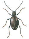 White-marked spider beetle