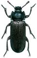 Yellow mealworm beetle