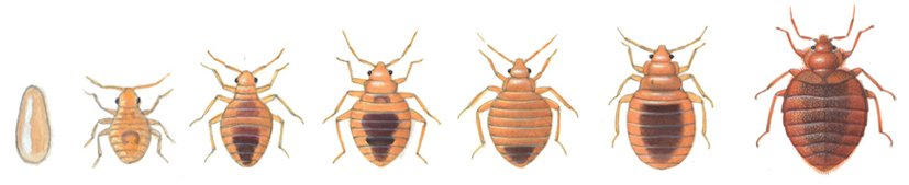 Bed bug development from egg to adult