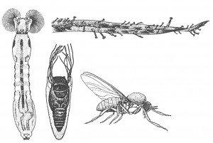 Blackflies, larva, pupa
