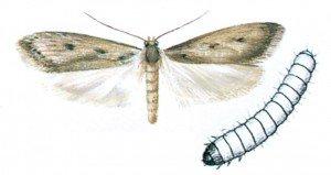 Brown house moth and larva