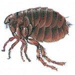 Dog flea
