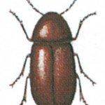 Common furniture beetle