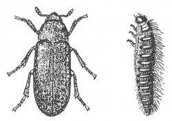 Dermestid beetle, adult and larva