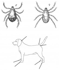 Difference between brown dog tick and castor bean tick